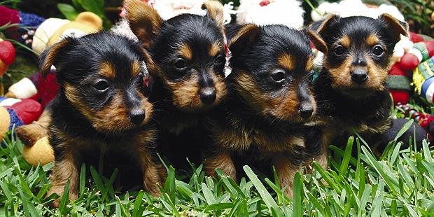 terrier-australien-australian-chiots