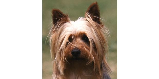 silky-terrier-australien-poil-soyeux-portrait