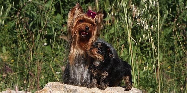 silky-terrier-australien-poil-soyeux-exterieur