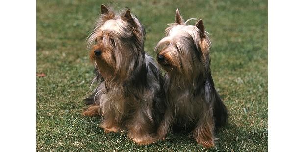silky-terrier-australien-poil-soyeux-duo