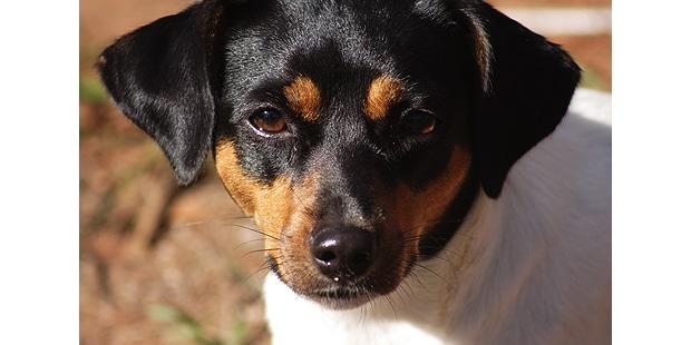 terrier-bresilien-brasileiro-portrait