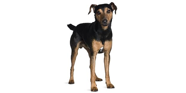terrier-de-manchester-black-tan-studio