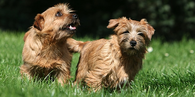 terrier-de-norfolk-duo