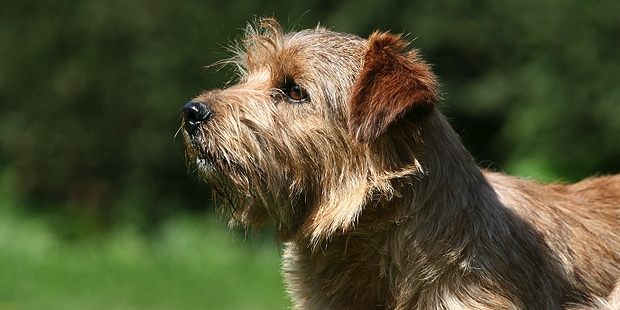 terrier-de-norfolk-tete