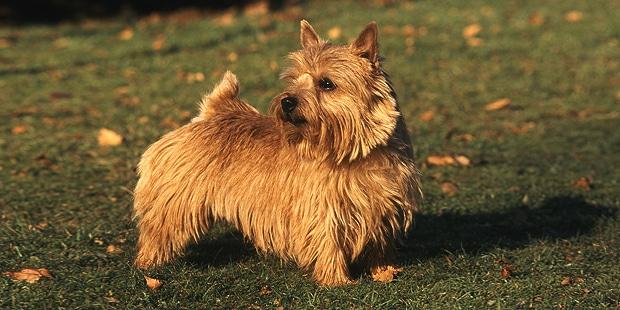 terrier-de-norwich-profil
