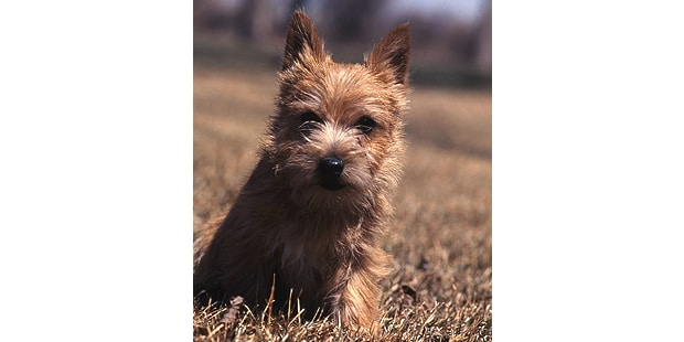 terrier-de-norwich-portrait