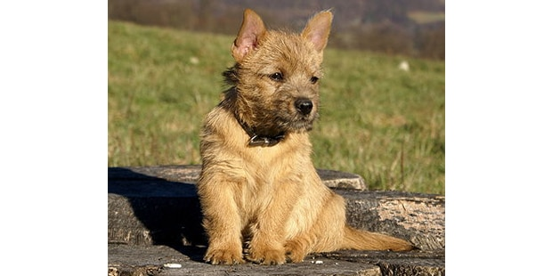 terrier-de-norwich-assis