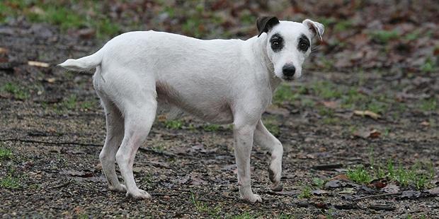 reverend-jack-parson-russel-terrier-profil