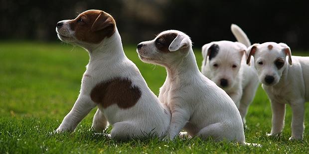 reverend-jack-parson-russel-terrier-chiots