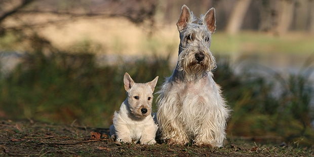 terrier-ecossais-scottish-terrier-scottie-exterieur