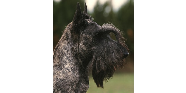 terrier-ecossais-scottish-terrier-scottie-profil