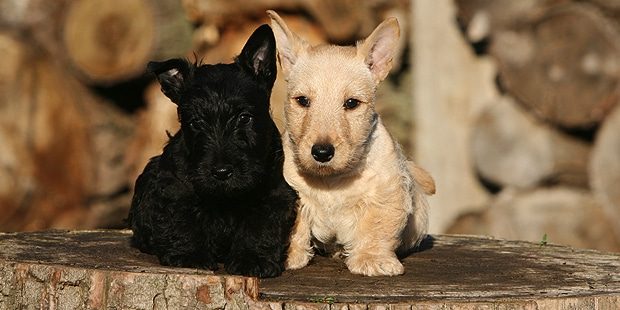terrier-ecossais-scottish-terrier-scottie-chiots