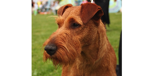 terrier-irlandais-irish-terrier-portrait