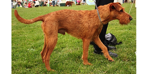 terrier-irlandais-irish-terrier-profil