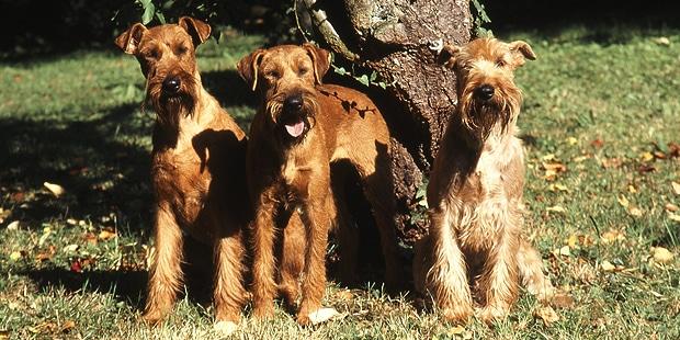 terrier-irlandais-irish-terrier-trio