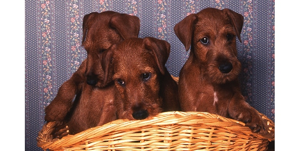 terrier-irlandais-irish-terrier-panier