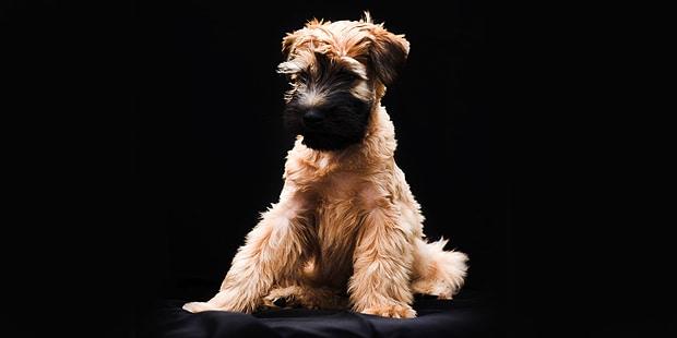 terrier-irlandais-poil-doux-irish-noir