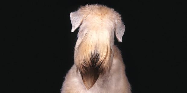 terrier-irlandais-poil-doux-irish-tete