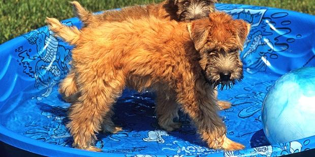 terrier-irlandais-poil-doux-irish-piscine