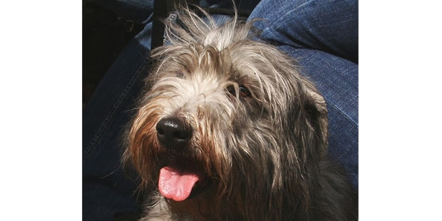 terrier-irlandais-glen-of-imaal-portrait