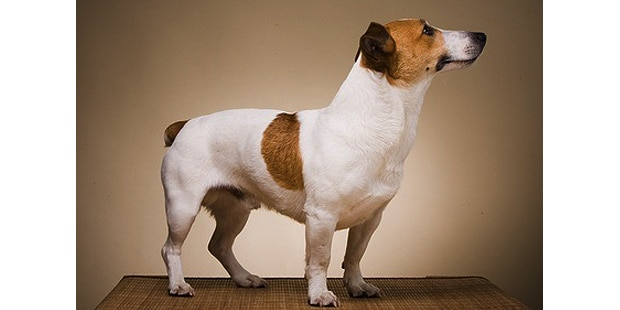chien-jack-russel-terrier-studio-profil