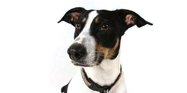 chien-jack-russel-terrier-portrait