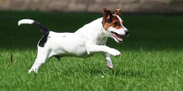 chien-jack-russel-terrier-courir-gazon