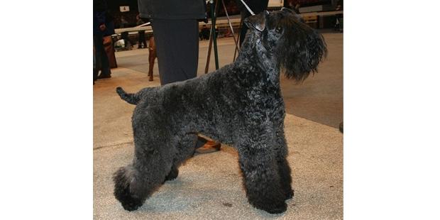 terrier-kerry-blue-profil