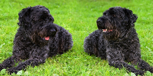 terrier-noir-russe-tchiorny-black-jardin
