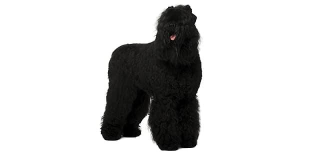 terrier-noir-russe-tchiorny-black-studio
