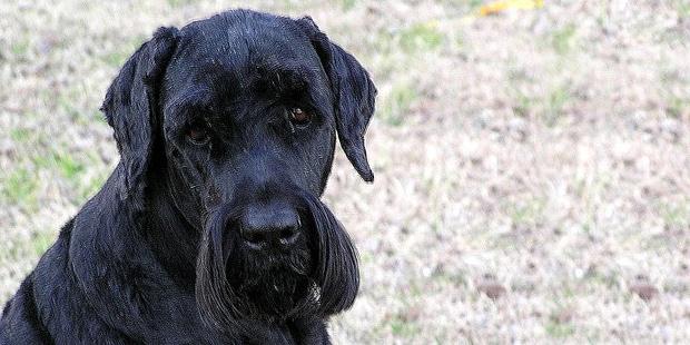 terrier-noir-russe-tchiorny-black-portrait