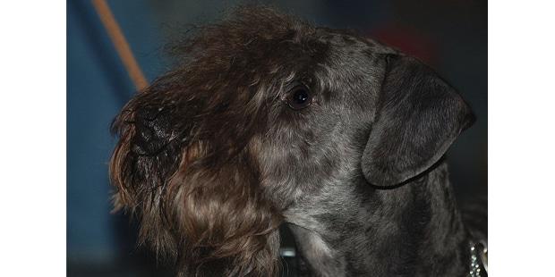cesky-terrier-tcheque-portrait