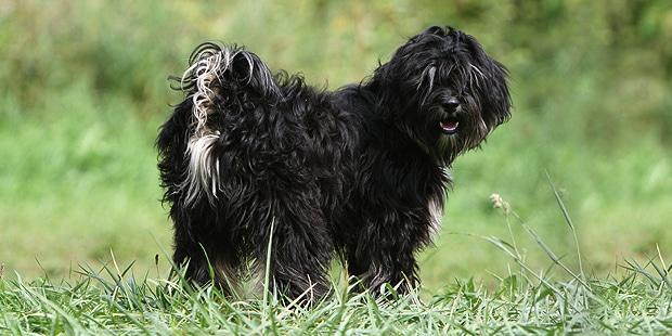 terrier-tibetain-tibetan-dhoki-apso-noir