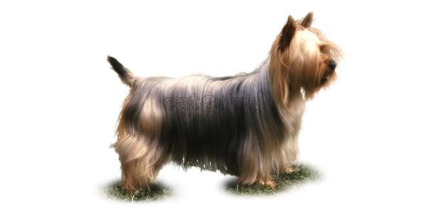 silky-terrier-australien-poil-soyeux