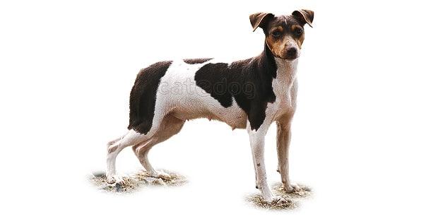 terrier-bresilien-brasileiro