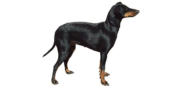 terrier-de-manchester-black-tan