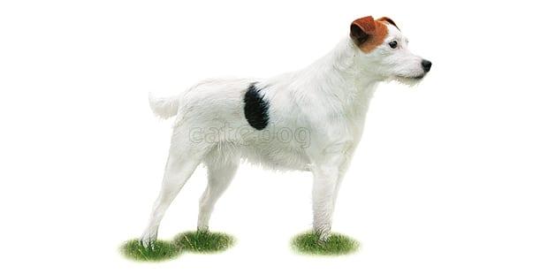 reverend-jack-parson-russel-terrier