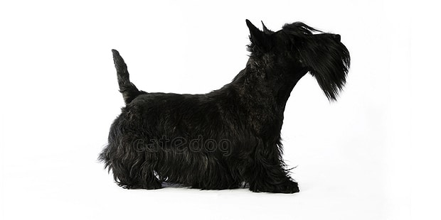 terrier-ecossais-scottish-terrier-scottie