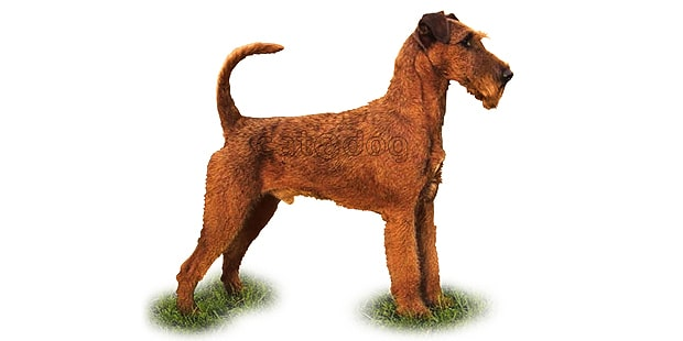 terrier-irlandais-irish-terrier