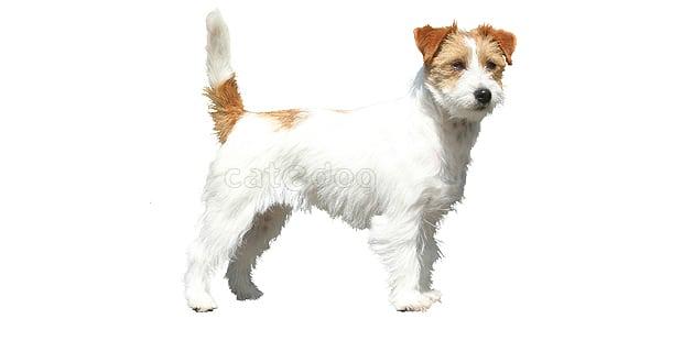 chien-jack-russel-terrier