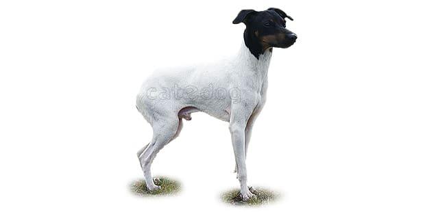 terrier-japonais-nippon-nihon-teria