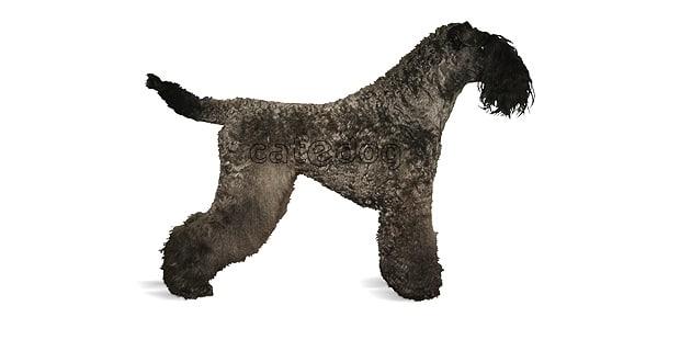 terrier-kerry-blue