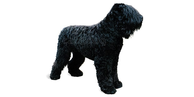terrier-noir-russe-tchiorny-black
