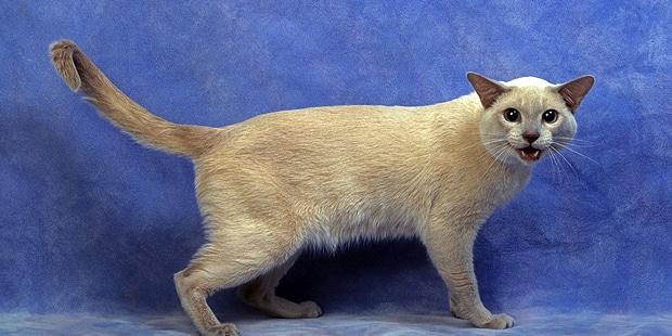 chat-tonkinois-tonkinese-profil