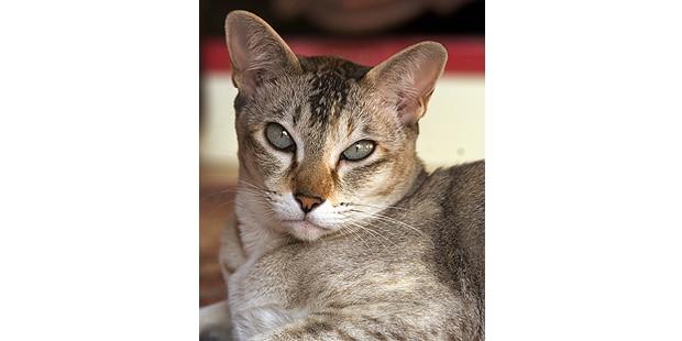 chat-tonkinois-tonkinese-couche