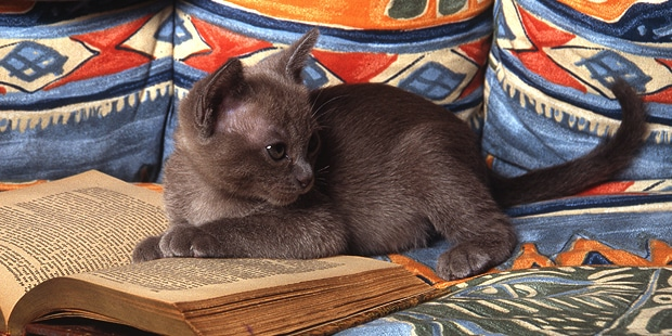 chat-tonkinois-tonkinese-chaton