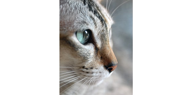 chat-tonkinois-tonkinese-portrait