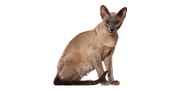 chat-tonkinois-tonkinese