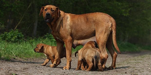 tosa-inu-combat-dogue-japonais-chienne