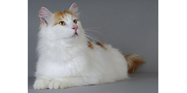 turc-de-van-turkish-van-studio